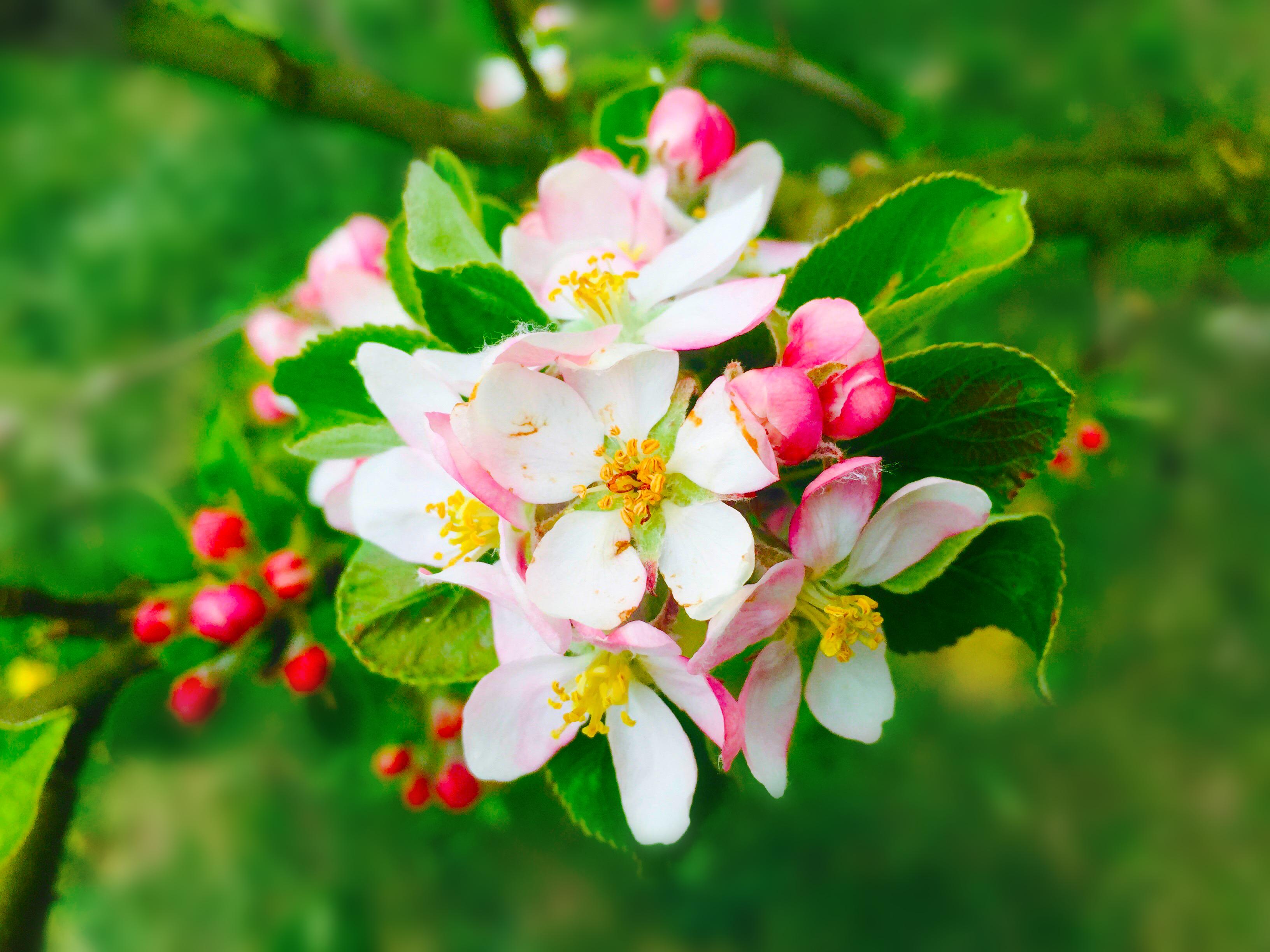 Rozkvetlá jabloň - Ilustrační fotky